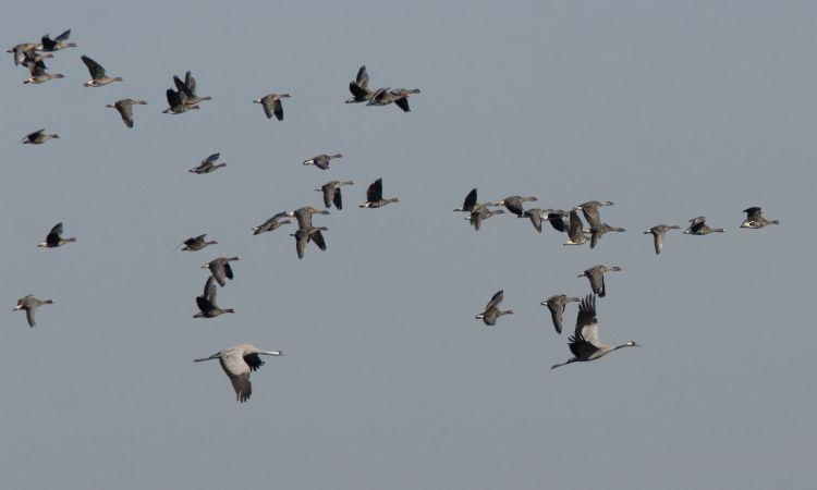 Rietganskraanvogel