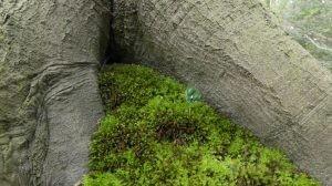Nieuw leven jonge beukenbomen onder de 'oude'