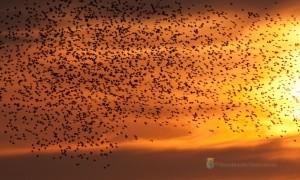 Spreeuwen op de eerste plaats als meeste trekvogels in Ottershagen